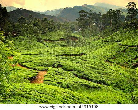 Teeplantagen im Bundesstaat Kerala, Indien