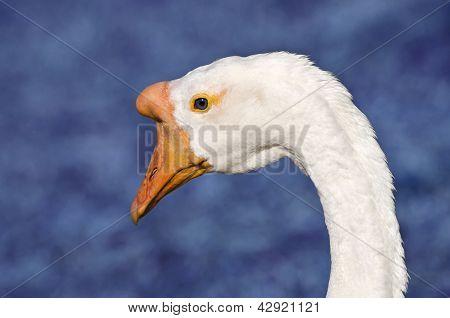 White Chinese Goose (Anser cygnoides)