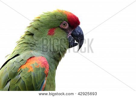 Colorful Parrot Isolated On White