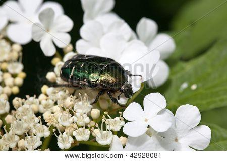 Käfer auf die Blüten im Frühjahr