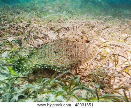 Cute Flatfish On Sandy Bottom