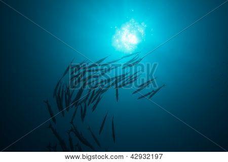 School Of Barracudas In Blue
