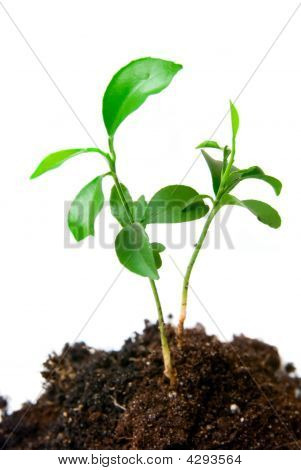 Young Plant With Dirt