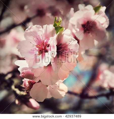 vintage cherry blossom flowers close up