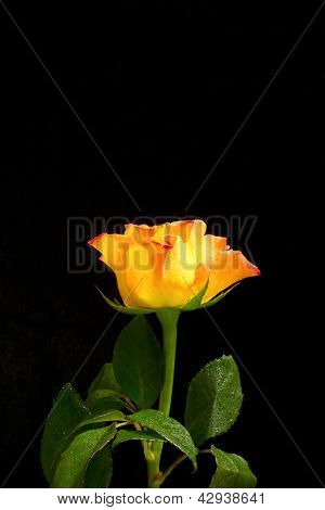 Yellow Rose With Red Edges