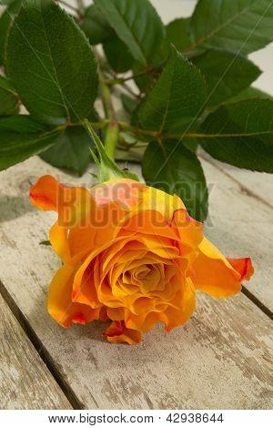 Single Rose...