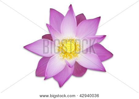 Lotus Pink Flower - Isolated