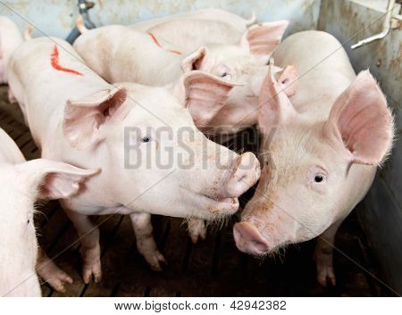 young piglet in shed at pig-breeding farm