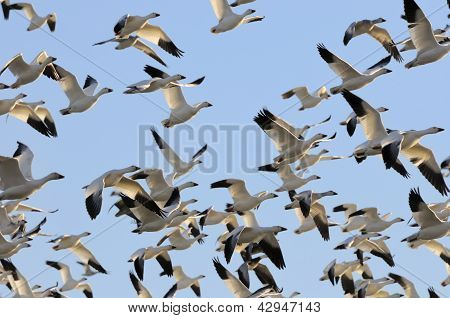 Snow Geese Flying in Blue Sky