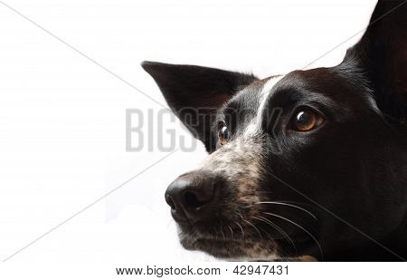 Un Border Collie en perfil
