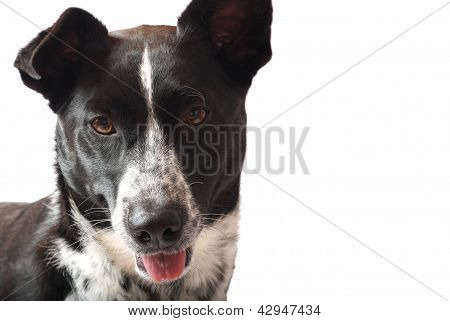 Curious Border Collie