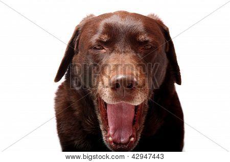 Yawning Dog