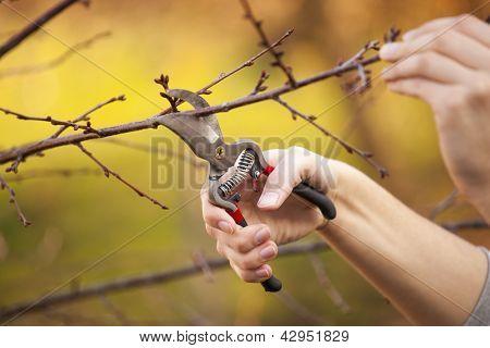 Podar uma árvore de fruta - corte ramos na Primavera