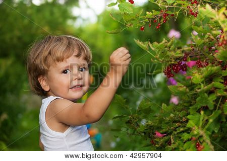 Funny Kid Picking Up Red Currants