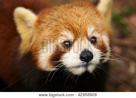 The Red Panda, Firefox