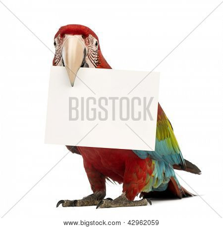 Green-winged Macaw, Ara chloropterus, 1 year old, holding a white card in its beak in front of white background