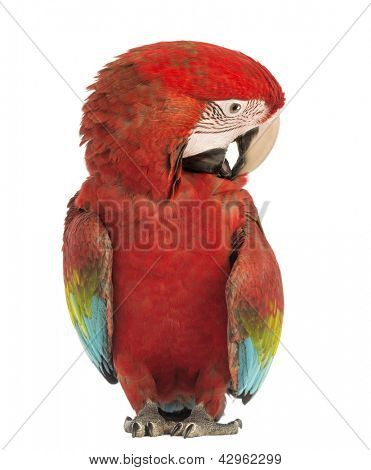 Green-winged Macaw, Ara chloropterus, 1 year old, scratching itself in front of white background