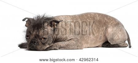 Hairless Mixed-breed dog, mix between a French bulldog and a Chinese crested dog, lying and looks sad in front of white background