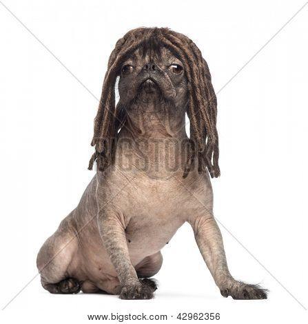 Cão de raça mista pelado, mistura entre um bulldog francês e um chinês crested dog, sentado e drinkin