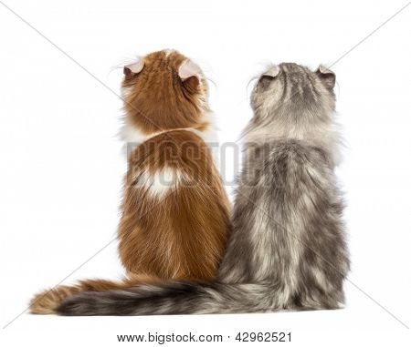 Rear view of two American Curl kittens, 3 months old, sitting and looking up in front of white background