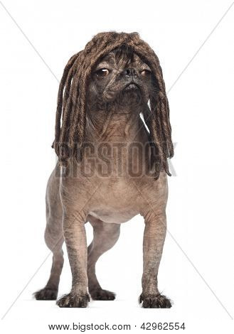 Hairless Mixed-breed dog, mix between a French bulldog and a Chinese crested dog, standing, looking away and wearing a dreadlocks wig in front of white background