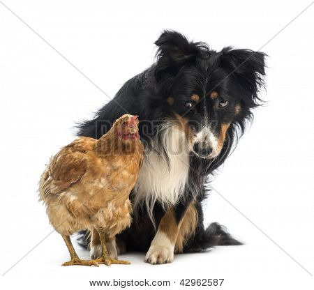 Border Collie, 8.5 years old, sitting behind a hen and looking at it in front of white background