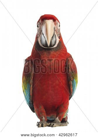 Front view of a Green-winged Macaw, Ara chloropterus, 1 year old, in front of white background