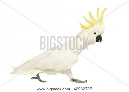 Sulphur-crested Cockatoo, Cacatua galerita, 30 years old, walking with crest up in front of white background