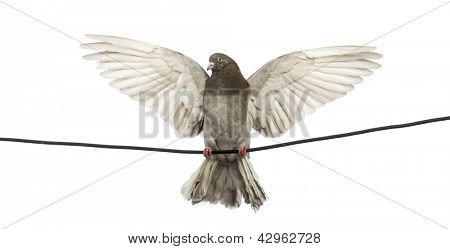 Paloma encaramado en un cable eléctrico con sus alas extendió frente fondo blanco