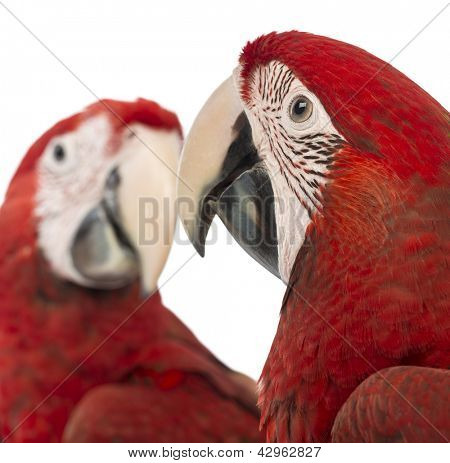 Close-up of two Green-winged Macaws, 1 year old, in front of white background