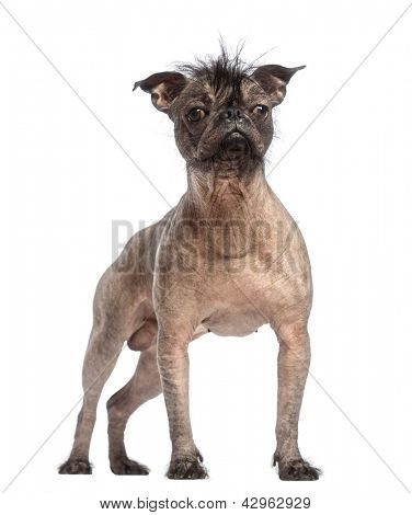Hairless Mixed-breed dog, mix between a French bulldog and a Chinese crested dog, standing in front of white background