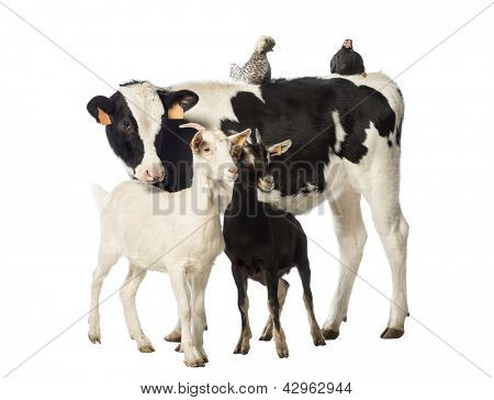 Veal, 8 months old, standing with a Polish chicken and a hen lying on its back and two goats standing in front of him in front of white background