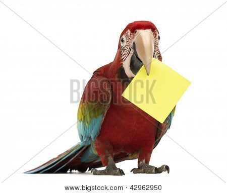 Green-winged Macaw, Ara chloropterus, 1 year old, holding a yellow card in its beak, a post-it in front of white background