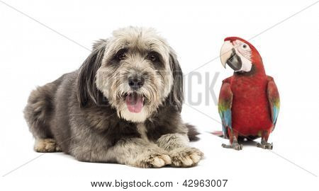 Crossbreed, 4 years old, looking at the camera and lying next to a Green-winged Macaw, Ara chloropterus, 1 year old, in front of white background