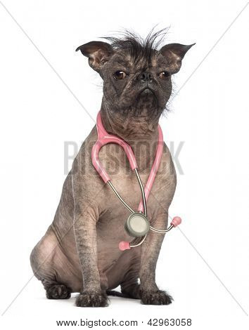 Hairless Mixed-breed dog, mix between a French bulldog and a Chinese crested dog, sitting with a stethoscope around the neck in front of white background