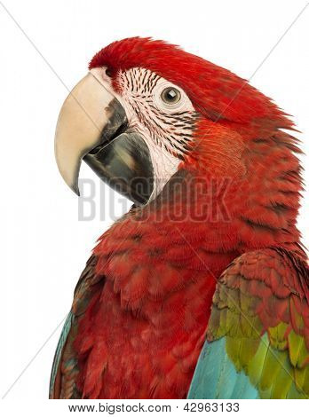 Side view close-up of a Green-winged Macaw, Ara chloropterus, 1 year old, in front of white background