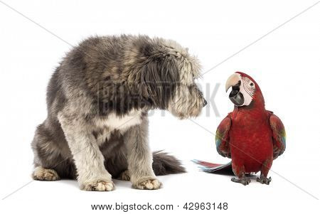 Crossbreed, 4 years old, sitting and looking at a Green-winged Macaw, Ara chloropterus, 1 year old, in front of white background