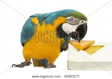 Blue-and-yellow Macaw, Ara ararauna, 30 years old, playing with a puzzle in front of white background