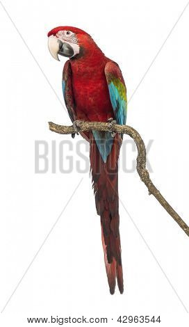 Green-winged Macaw, Ara chloropterus, 1 year old, perched on branch in front of white background