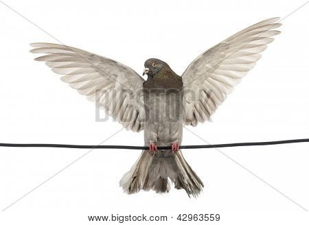 Pigeon perched on an electric wire with its wings spread in front of white background