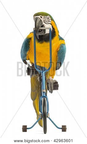 Front view of a Blue-and-yellow Macaw, Ara ararauna, 30 years old, riding a blue bicycle in front of white background