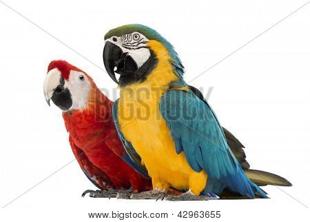 Blue-and-yellow Macaw, Ara ararauna, 30 years old, and Green-winged Macaw, Ara chloropterus, 1 year old, in front of white background