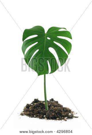 Monstera Deliciosa Leaf In Dirt