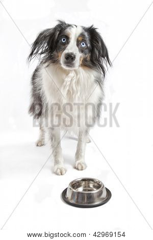 Miniature australian shepherd on a white background.