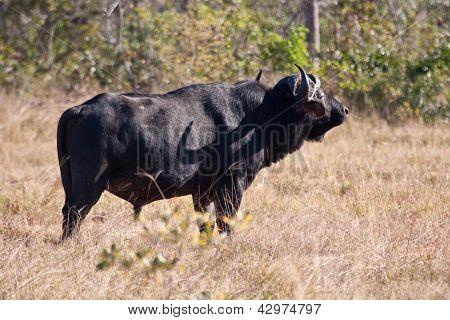 Cape Buffalo Standing