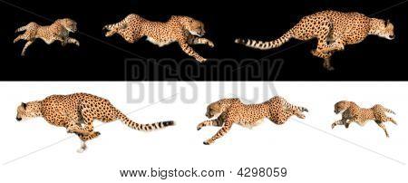 Cheetah Sequence