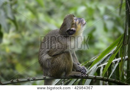Talapoin Cameroon