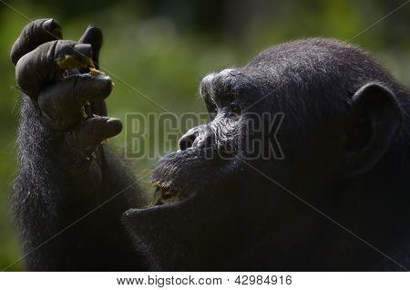 Chimpanzee Eating Fruit