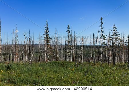 Dead Trees From Wildfire