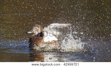 Single Duck Is Washing Herself